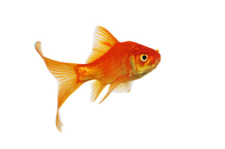 white tail: Gold Fish swimming isolated on a white background Stock Photo