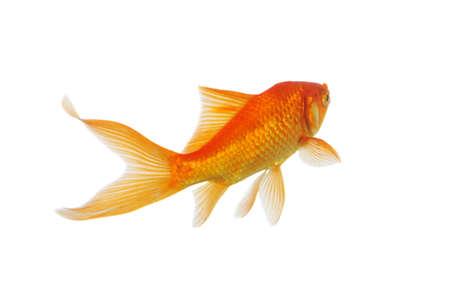Goud vis zwemmen geïsoleerd op een witte achtergrond
