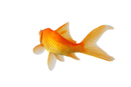 Gold Fish swimming isolated on a white background photo