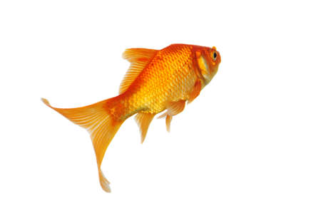 Gold Fish swimming isolated on a white background Stock Photo - 8023879