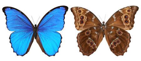 白い背景に対して隔離される蝶 (モルフォ メネラウス) 上部と下部ビュー