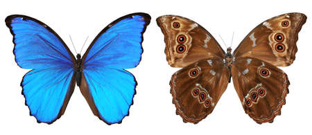 Butterfly (Morpho menelaus) top and bottom view isolated against a white background