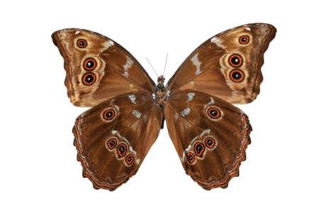 morpho menelaus: Vista inferior de mariposa (Morpho menelaus) aislado contra un fondo azul