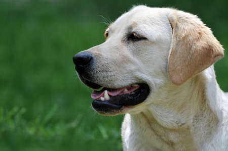 yellow: Portrait of Yellow Labrador woth grassy background Stock Photo