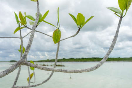 Mangrove tree in Bacalar lagoon Imagens