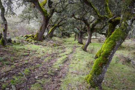 mediterranean forest: Forest of Mossy Oaks  Mediterranean Forest