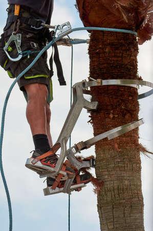 dangerous job, man climbing, palm tree pruning with special climbing tool, job safety, safe gardeners tools