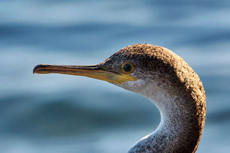 landscape portrait, young specimen of great cormorant, resting on rocks on the shore of the blue Mediterranean Sea