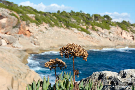 Rock samphire (Crithmum maritimum) often known as sea fennel. Flowering dry, green, edible plant on coastal rocks, blue water and sky in the background.