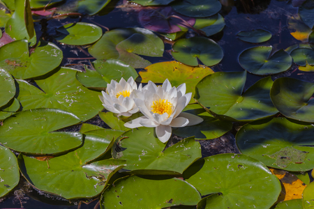 flowered: Flowered waterlily Stock Photo
