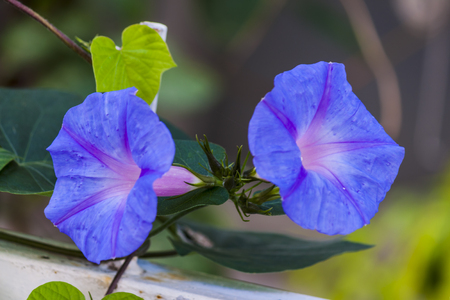 Morning glory flowers in the garden