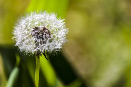Close-up view on a dandelion flower surrounded by green leaves - photography