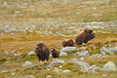 Norway, Musk Ox, family reunited in the Arctic tundra.