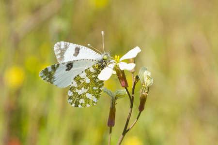 Euchloe crameri, Western dappled white, butterfly eating over the flower.