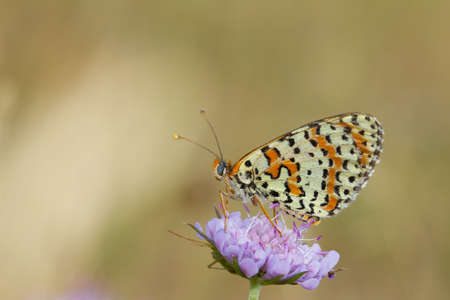 Melitaea didyma, the spotted fritillary or red-band fritillary, mountain butterfly on the lilac flower, Spain.