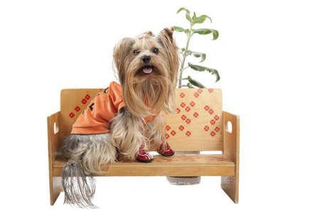 whitem: Yorkshire terrier dog sitting on bench on white background Stock Photo
