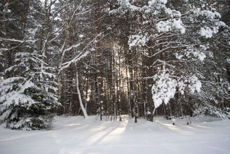 spruce  forest penetrated by sunlight in winter photo