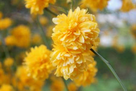 yellows: Yellows