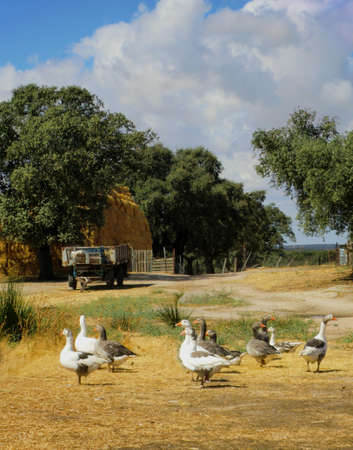 scenary: A simple, clean photo of a big farm yard, white and grey goose walking, watching curious, an old tug, trees, country road, fence and a big stack of straw bales. Taken in the fall in Spain, Extremadura on a cloudy day.