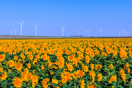 Field of sunflowers with wind turbines in the background.