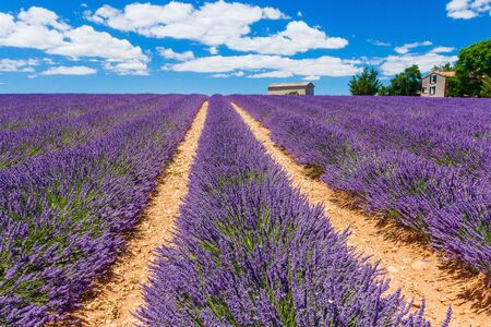 Provence, France. Lavender fields on the Plateau of Valensole. Stock fotó - 143527830