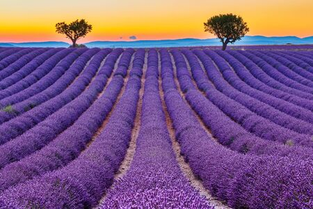 Provence, France. Lavender fields at sunset on the Plateau of Valensole. Stock fotó