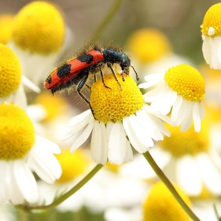 matricaria recutita: Shaggy Bee coleottero sui fiori di camomilla