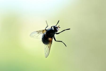housefly: little housefly