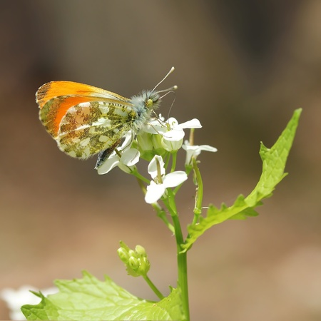 Orange Tip photo