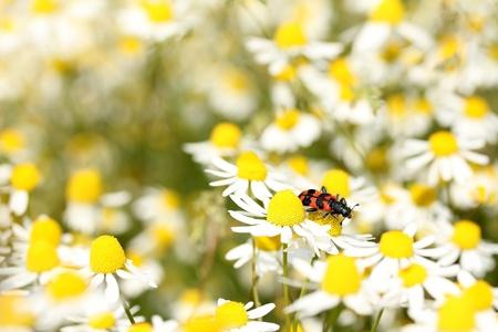 matricaria recutita: Bee beetle