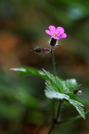 Geranium robertianum Фото со стока