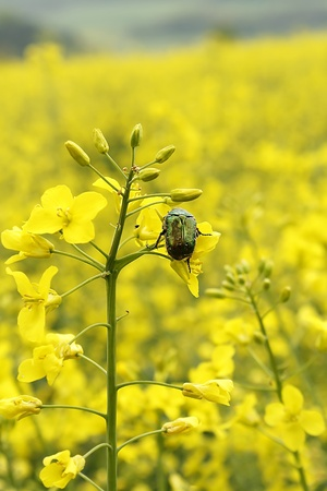 mustard field: Cetonia aurata Stock Photo