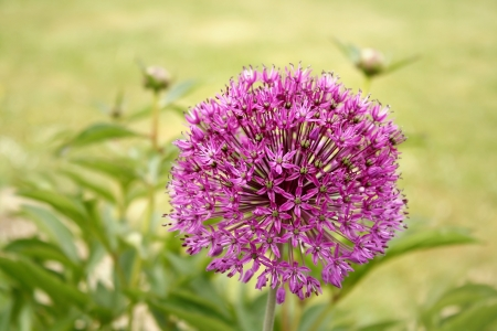 Leek flower photo
