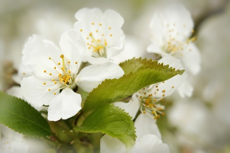 else: blooming cherry Stock Photo