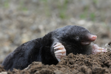 mole Stock Photo - 17504587