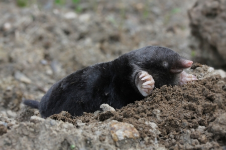 mole Stock Photo - 17504588