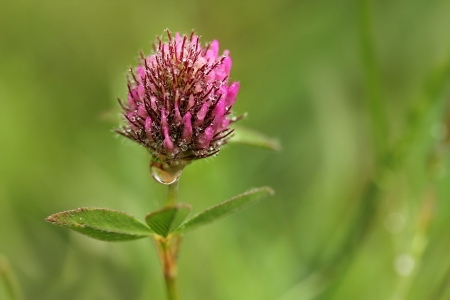 Red clover Stock Photo - 17504608