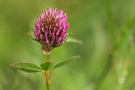 Red clover Stock Photo - 17504604