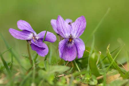violas: fragrant violets