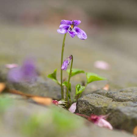 violets: fragrant violets