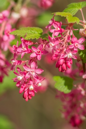 ribes: Ribes sanguineum flowers Stock Photo