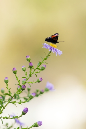 nymphalis: Peacock on blue asters Stock Photo