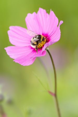 bumble bee: bumble bee on Cosmos bipinnatus