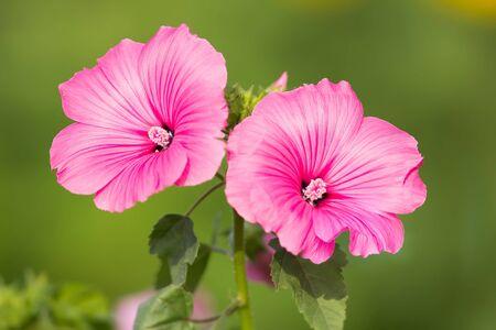 mallow: Pink mallow flowers