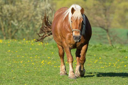 skidding: brown cold blood horse