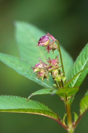 balsam: Buds of the Himalayan Balsam Stock Photo