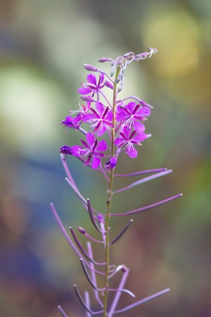 commonly: Commonly Fireweed