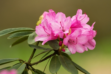 ericaceae: Pink rhododendron blossoms