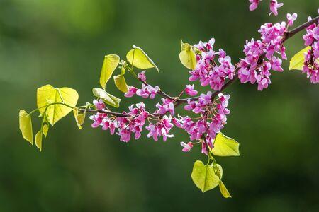 fabaceae: Canadian Hazel Stock Photo