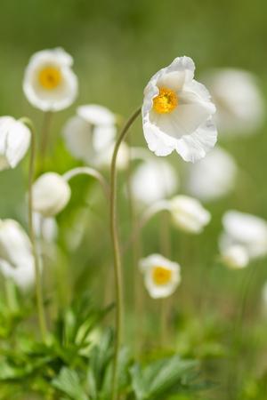 anemones: White anemones